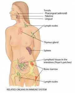 lymph body